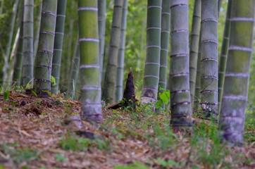 竹林に生えるタケノコ