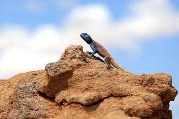 Fototapeten Chamaleon Kameleon na pusty Kalahari