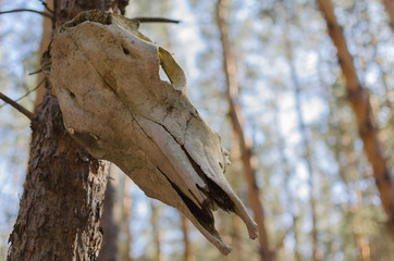 The skull of the horse hanging in a tree in the woods