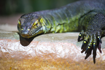 Waran only with sharp eyes and claws photographic captured