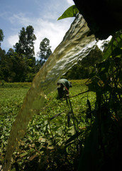 A villager picks up water spinach growing in a polluted pond in the Luwu district of Indonesia's South Sulawesi province