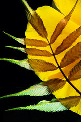 A macro photo of a colorful fern leaf arrangement.  I used a back light to bring out the colors and botanical textures.