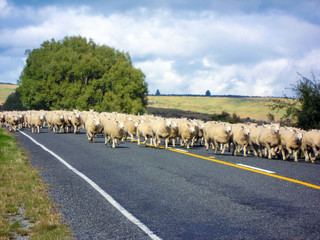 Sheeps crossing the road, New Zealand - Stock Photo
