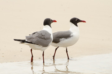 Laughing Gulls on the beach