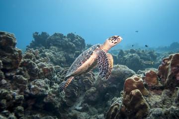 Unterwasser - Riff - Schildkröte - Meeresschildröte - Karettschildkröte  - Tauchen - Curacao - Karibik