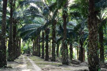 oil palm trees in plantation (elaeis guineensis)