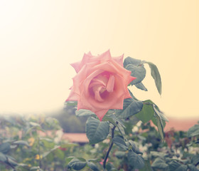 Roses in the garden filtered