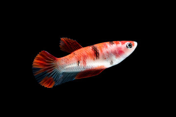 Female Fancy KOI Betta Fish or Siamese Fighting Fish Isolated on Black Background