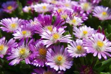 fiori fiore della pianta delosperma per festa della mamma festa della donna san valentino flowers