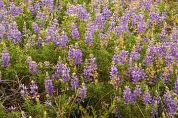 Purple Lupine bushes