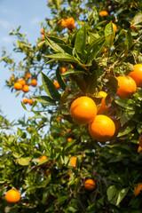 Orange tree in the garden. Citrus Fruit