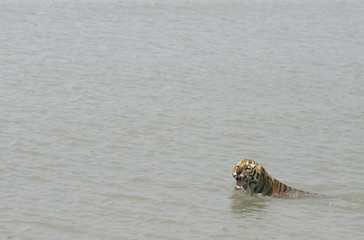 A tigress swims in the waters of river Sundari Kati, after its release from a cage at Sunderbans