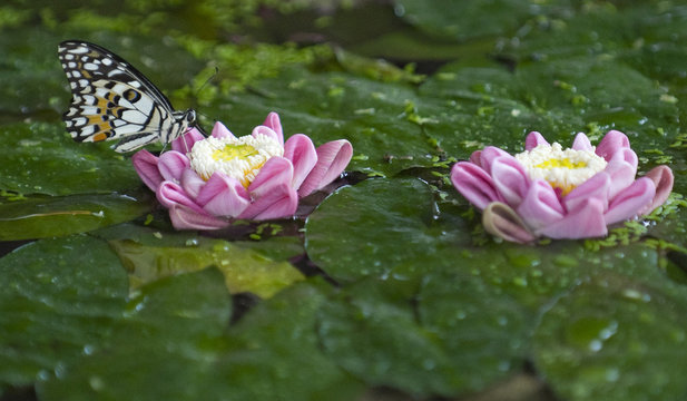 A butterfly sits on a lotus flower in Siem Reap