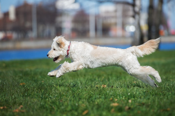 mixed breed dog running outdoors in summer