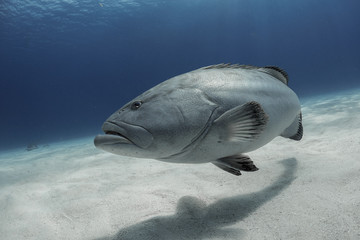 Grouper on the sand