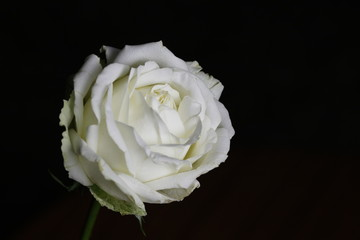 White rose with the black background ideal for wallpaper and background