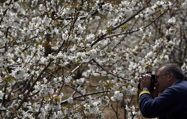 Tourist takes a picture of a cherry branches in blossom in the Valle del Jerte