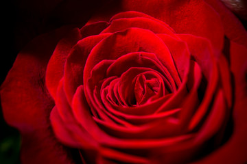 Macro view of red rose.