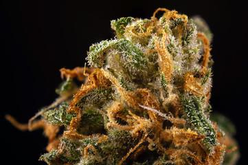 Cannabis bud macro (green crack marijuana strain) with visible hairs and trichomes