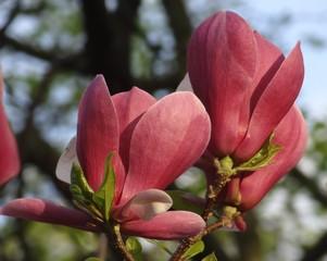 Kiev, Ukraine. Flowering Magnolia at the Botanical garden.
