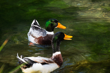 Two Beautiful male ducks