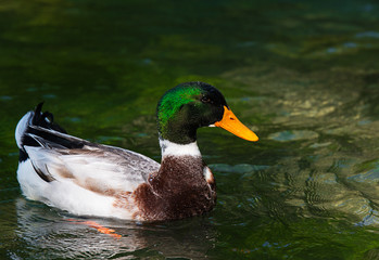 Beautiful male ducks