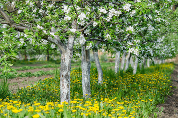 Rows of flowering fruit trees in the orchard