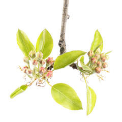 Branch of pear with flower buds and young green leaves isolated on white background