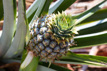 pineapple in Costa Rica