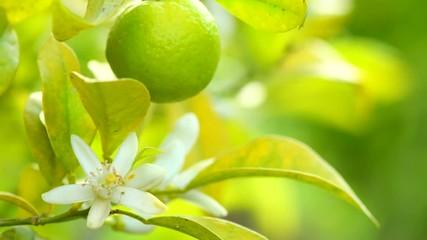 Fotoväggar - Tangerines or oranges hanging on tree. Healthy organic juicy fruits growing in sunny orchard. 4K UHD video 3840X2160