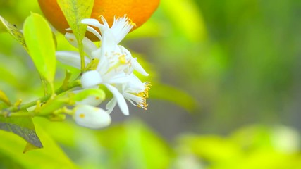 Fotoväggar - Ripe oranges or tangerines hanging on a tree. Healthy organic juicy fruits growing in sunny orchard. 4K UHD video 3840X2160