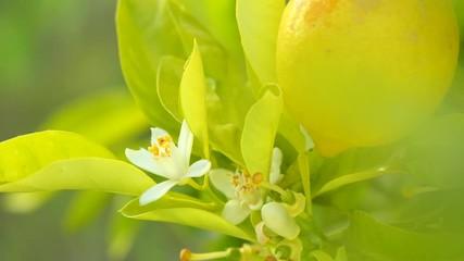 Fotoväggar - Lemon tree with fruits and flowers. Healthy organic juicy lemons growing in sunny orchard. 4K UHD video 3840X2160