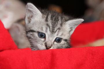Chaton tigré sur une couverture rouge