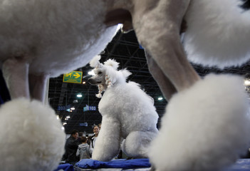 Poodles take part in the European Dog Show in Budapest