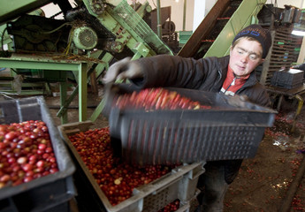 An employee carries a box of cranberries at a state farm in the village of Selishche