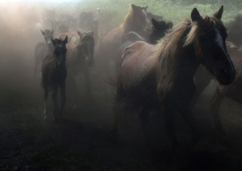 """Wild horses run before being rounded up during the """"Rapa Das Bestas"""" traditional event in Sabucedo"""