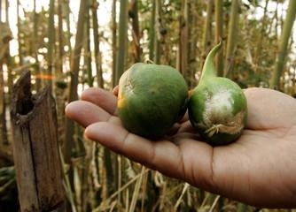 -PHOTO TAKEN 24APR05- An Indian shows green bamboo fruits, each a little bigger than a golf ball, ne..