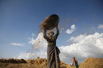 Farmer work in the paddy field near Pindaya in Shan state, Myanmar