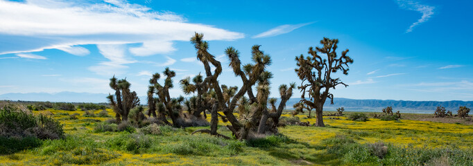 Joshua Tree Mohave Super Bloom