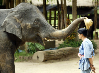 "An Asian elephant places a hat on the head of its ""mahout"" (handler) during a demonstration of eleph.."