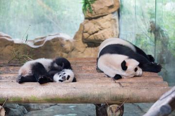Family of pandas sleeping on logs
