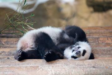 baby panda is sleeping on his back
