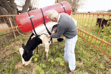 Guillermo Berra, a researcher at the National Institute of Agricultural Technology, adjusts a plastic tank on the back of a cow at their farm in Castelar
