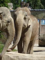 Türaufkleber Elefant Indische Elefanten