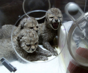 Ten-day-old baby cheetahs peer out of an incubator in a zoo in the east Bohemian town of Dvur Kralov..