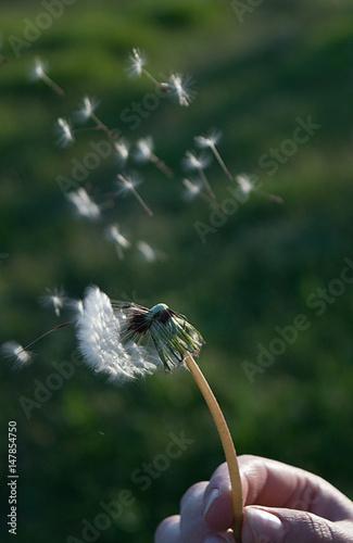 Lightness of blowing on dandelions