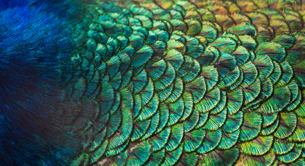 Fotorolgordijn Pauw Patterns and colors of peacock feathers.