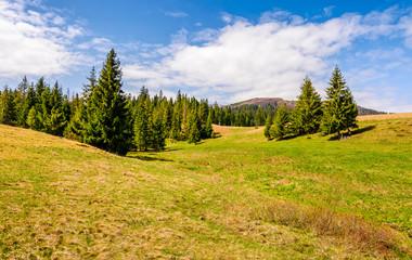 pine forest in summer landscape
