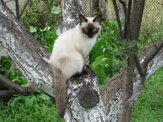 Siamese cat sitting on tree