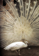 A male white peacock displays its feathers to impress a female peacock on a hot day inside New Delhi..